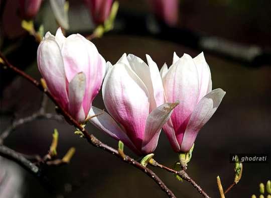 سه گلدار