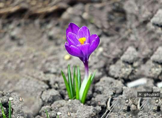 بنفش بهاری