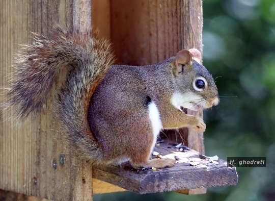 سنجابک گرسنه