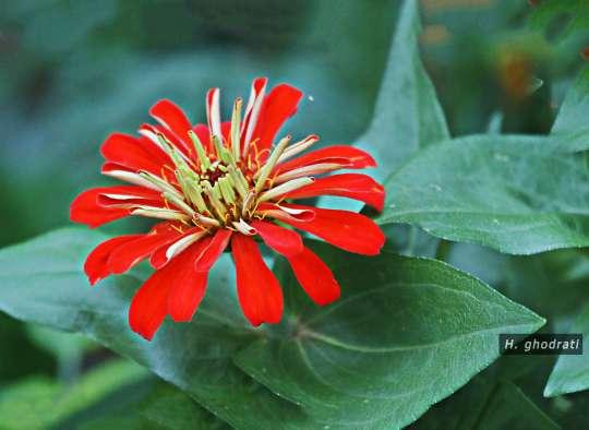 سبز لولههایی که قرمز گلی میشوند