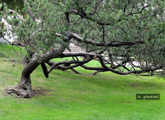 خمش شاخه و زمین