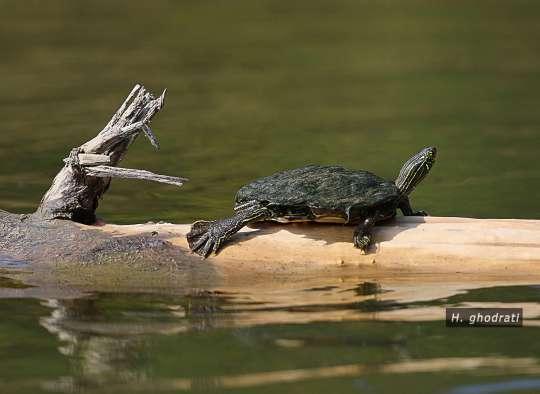 لاکپشت سر به هوا همچون شاخه